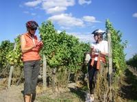showimage Weinlesezeit - eine ideale Zeit zum Genussradeln  oder Genusswandern an der Deutschen Weinstraße