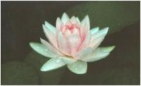 Lotus Tee - Das Geheimnis der Reinheit und Jugendlichkeit
