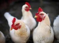 Für eine antibiotikafreie und artgerechte Hühnerhaltung