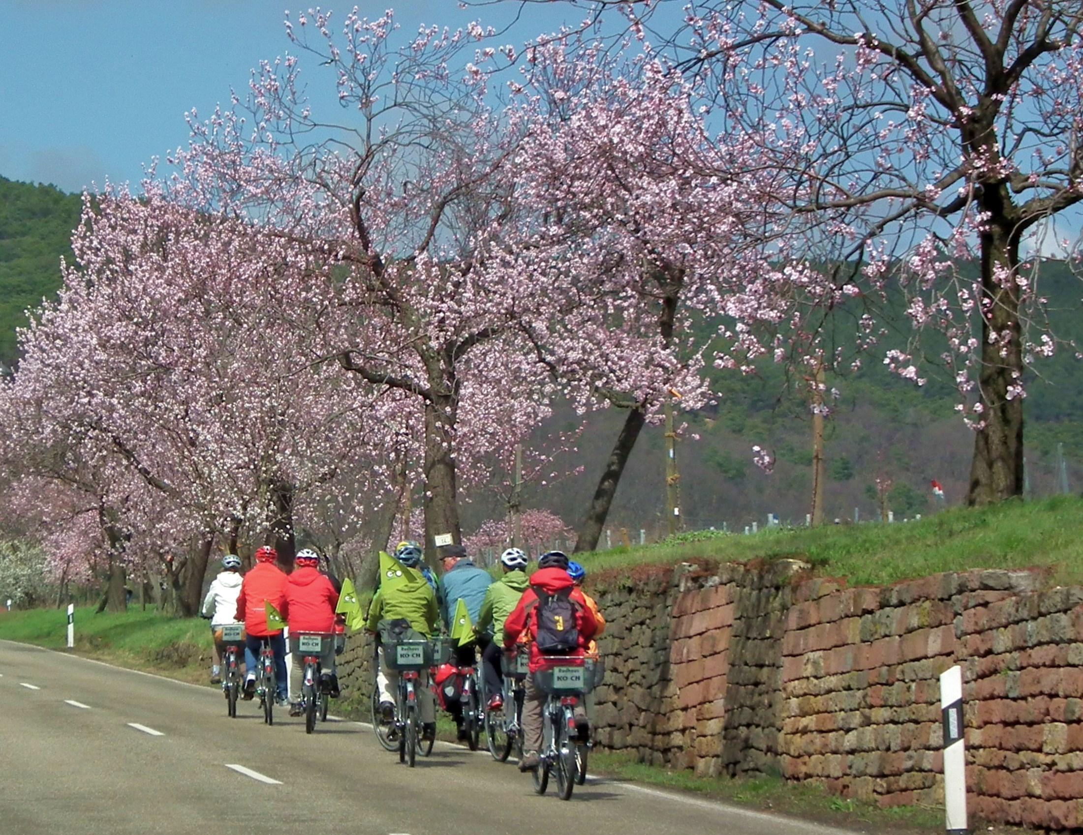 Gimmeldingen feiert am kommenden Wochenende Mandelblütenfest