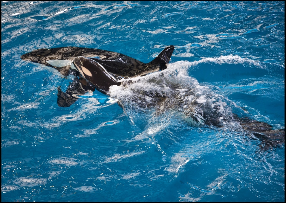 Letztes Killerwal-Baby in SeaWorld geboren: Beginn einer neuen Ära