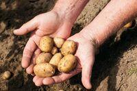 Kartoffelernte ist wetterabhängig